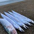 singoさんの新潟県新潟市でのタチウオの釣果写真