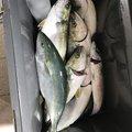 アルマンジロさんの青森県三沢市での釣果写真