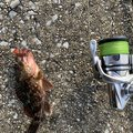 luckyさんの三重県四日市市でのカサゴの釣果写真
