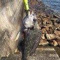 波止場修理さんの広島県廿日市市での釣果写真