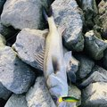 メガバス信者さんの石川県でのスズキの釣果写真