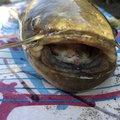 shi-basser-ki さんのナマズの釣果写真