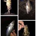 アナハゼくんさんのキチヌの釣果写真