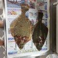 吉村さんの北海道茅部郡での釣果写真