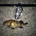 りょさんの神奈川県でのカサゴの釣果写真