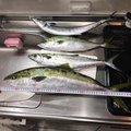 びんさんの山口県岩国市での釣果写真