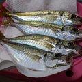 ハマちゃんさんの香川県丸亀市での釣果写真