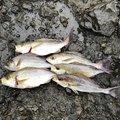 OKMAXさんの静岡県下田市での釣果写真
