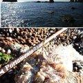 かなぼうさんの北海道室蘭市でのカジカの釣果写真