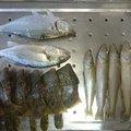りゅうさんのコノシロの釣果写真