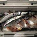 ハルワカパパさんの福井県敦賀市での釣果写真
