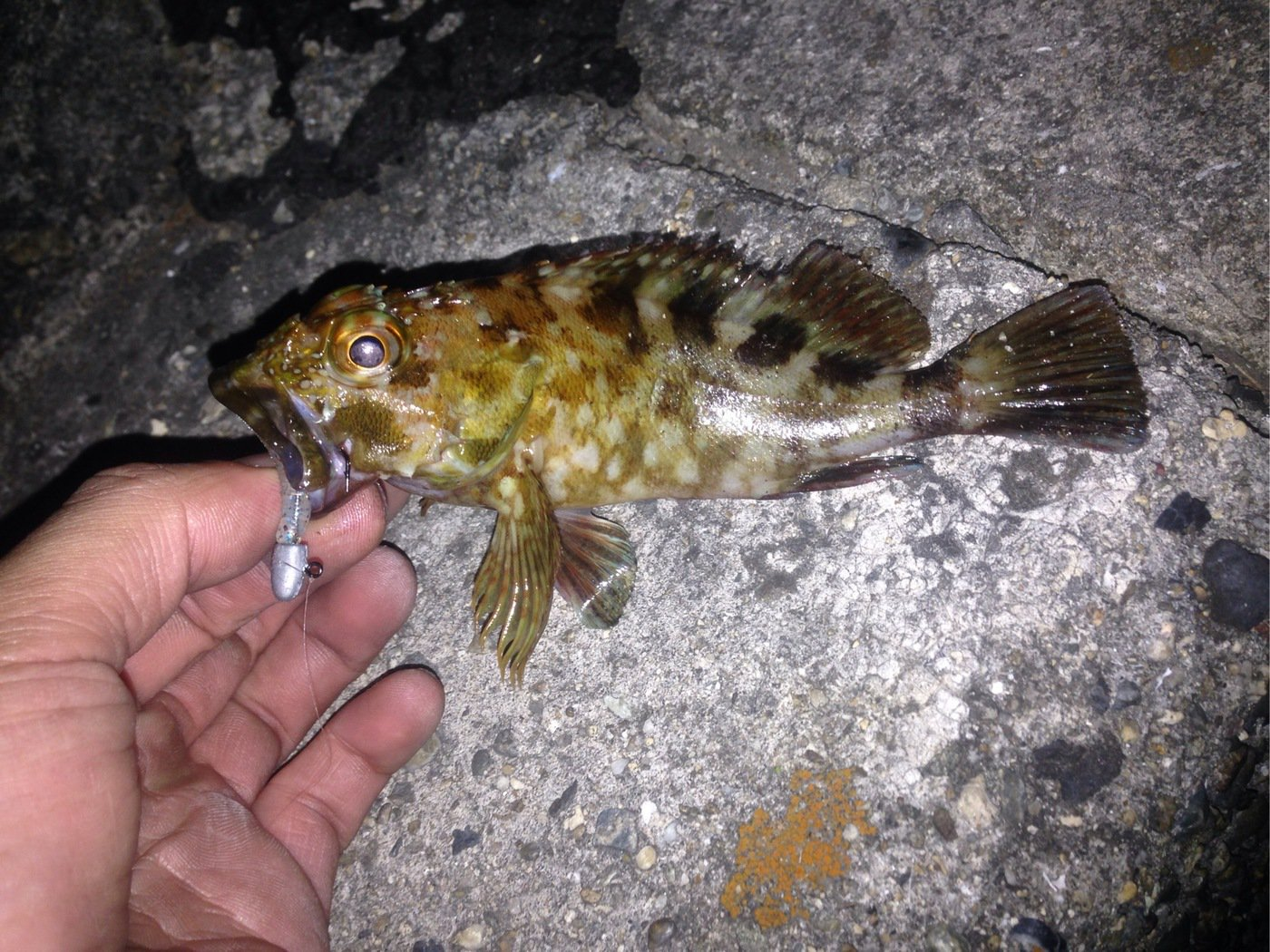 海太郎さんの投稿画像,写っている魚はカサゴ