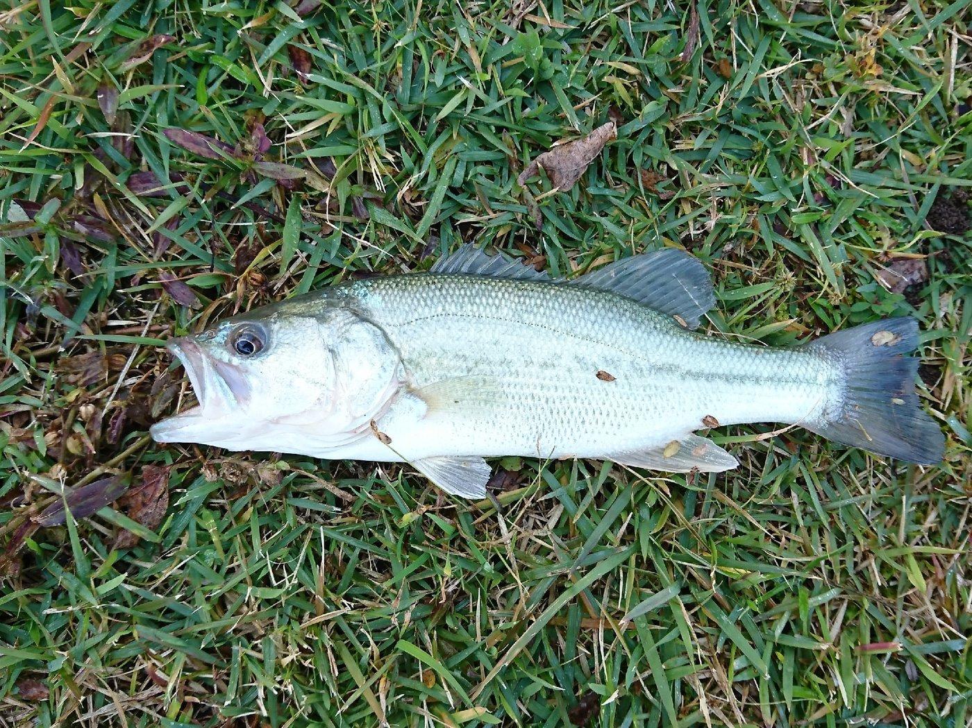 カヨイボーズ1さんの投稿画像,写っている魚はブラックバス