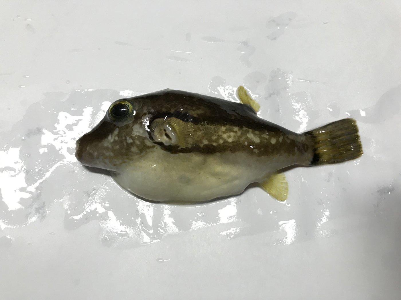 佐藤さんの投稿画像,写っている魚はキタマクラ