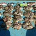 デコ8さんの愛媛県松山市でのカワハギの釣果写真