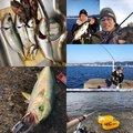 MAX The fishingさんの兵庫県神戸市でのカサゴの釣果写真