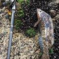 ゆういちさんのアイナメの釣果写真