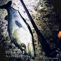 kaito@さんの福岡県北九州市でのスズキの釣果写真