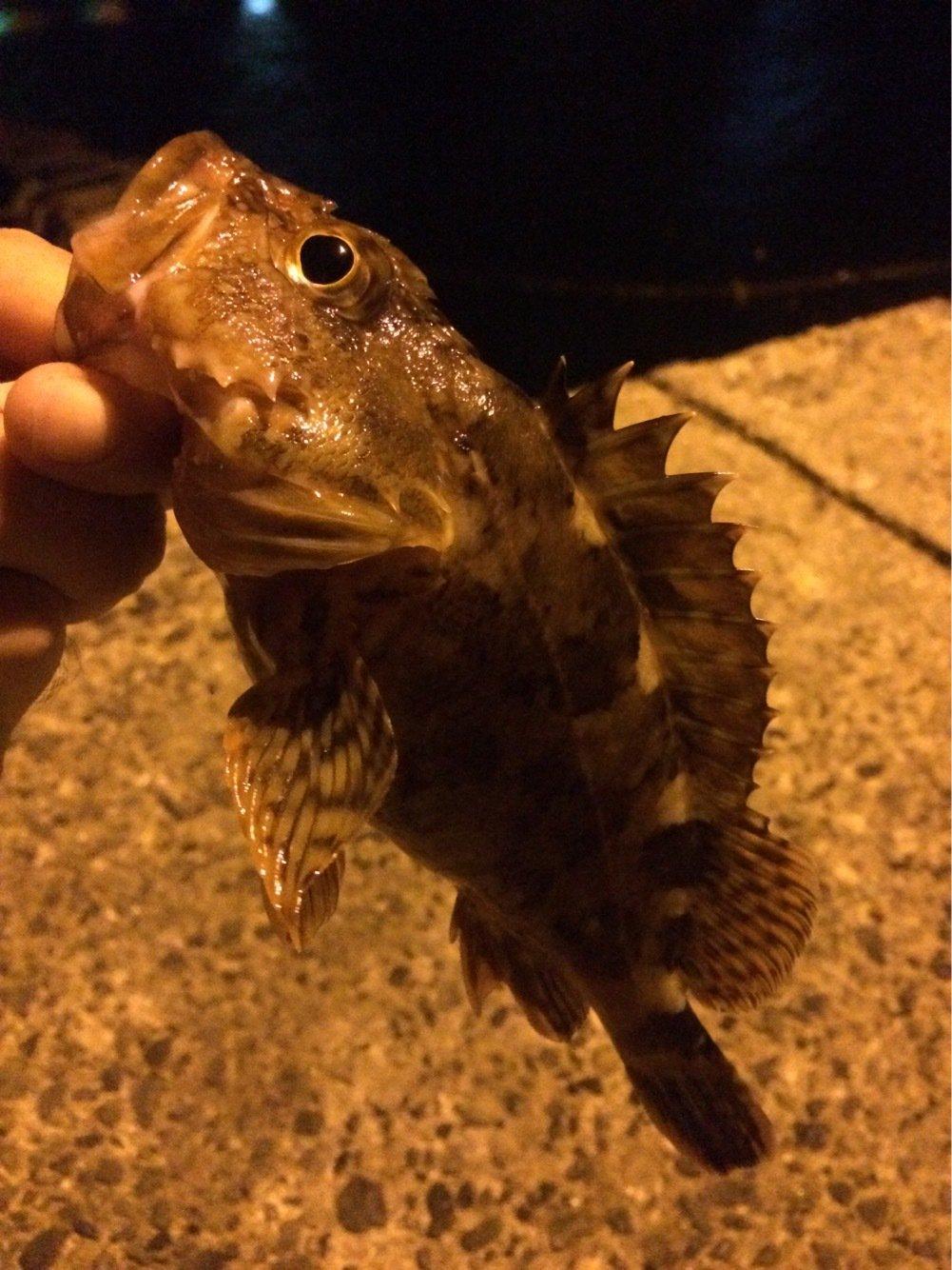 MOKOさんの投稿画像,写っている魚はカサゴ