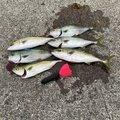 あきらさんの静岡県でのブリの釣果写真
