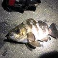 わたりょさんの神奈川県でのメバルの釣果写真