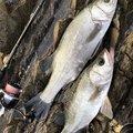 ヨウスケさんのヒラスズキの釣果写真
