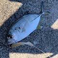 ブルーさんのギンガメアジの釣果写真