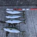 ベンさんの大阪府貝塚市での釣果写真