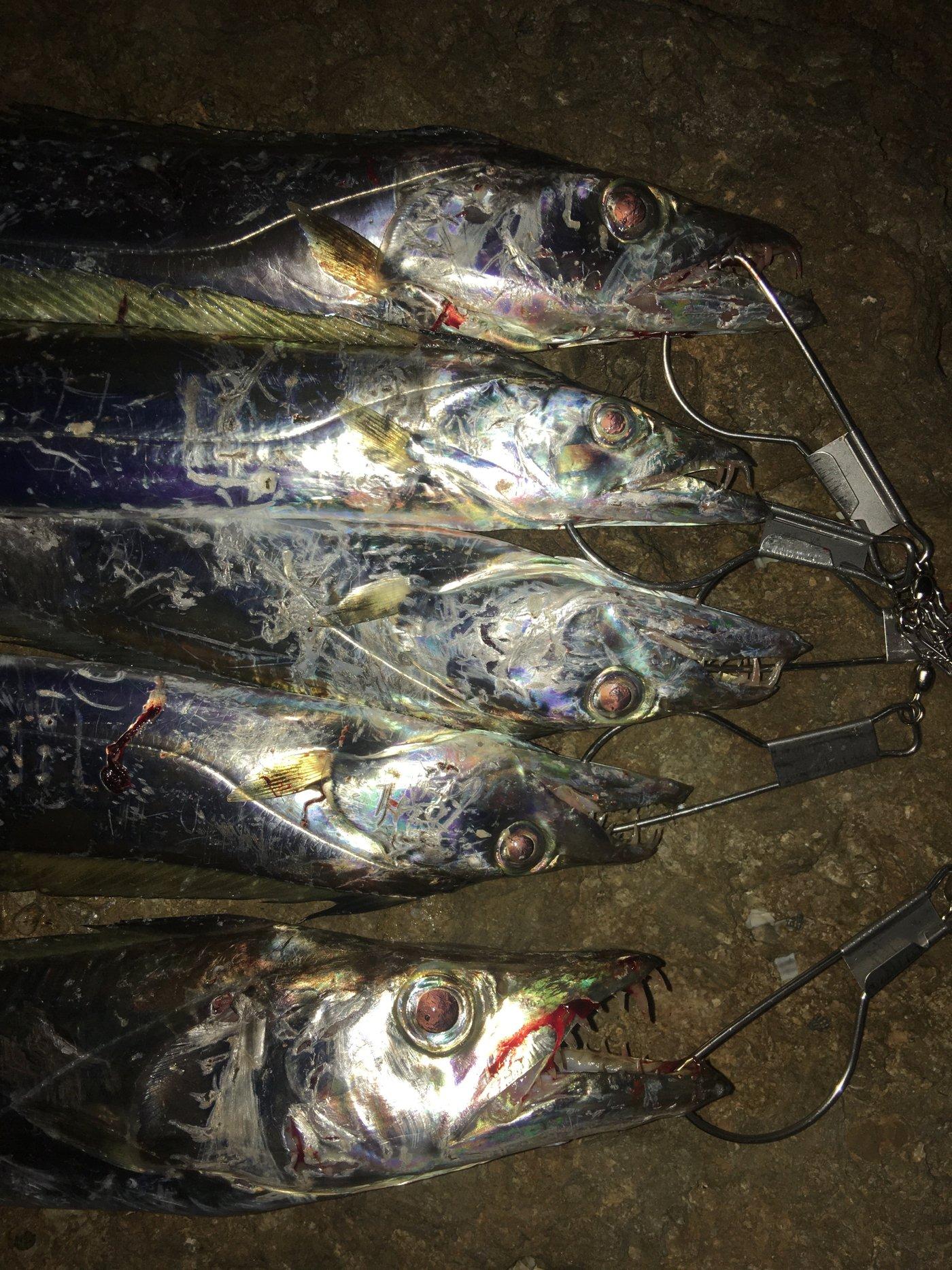 たまたまさんの投稿画像,写っている魚はタチウオ