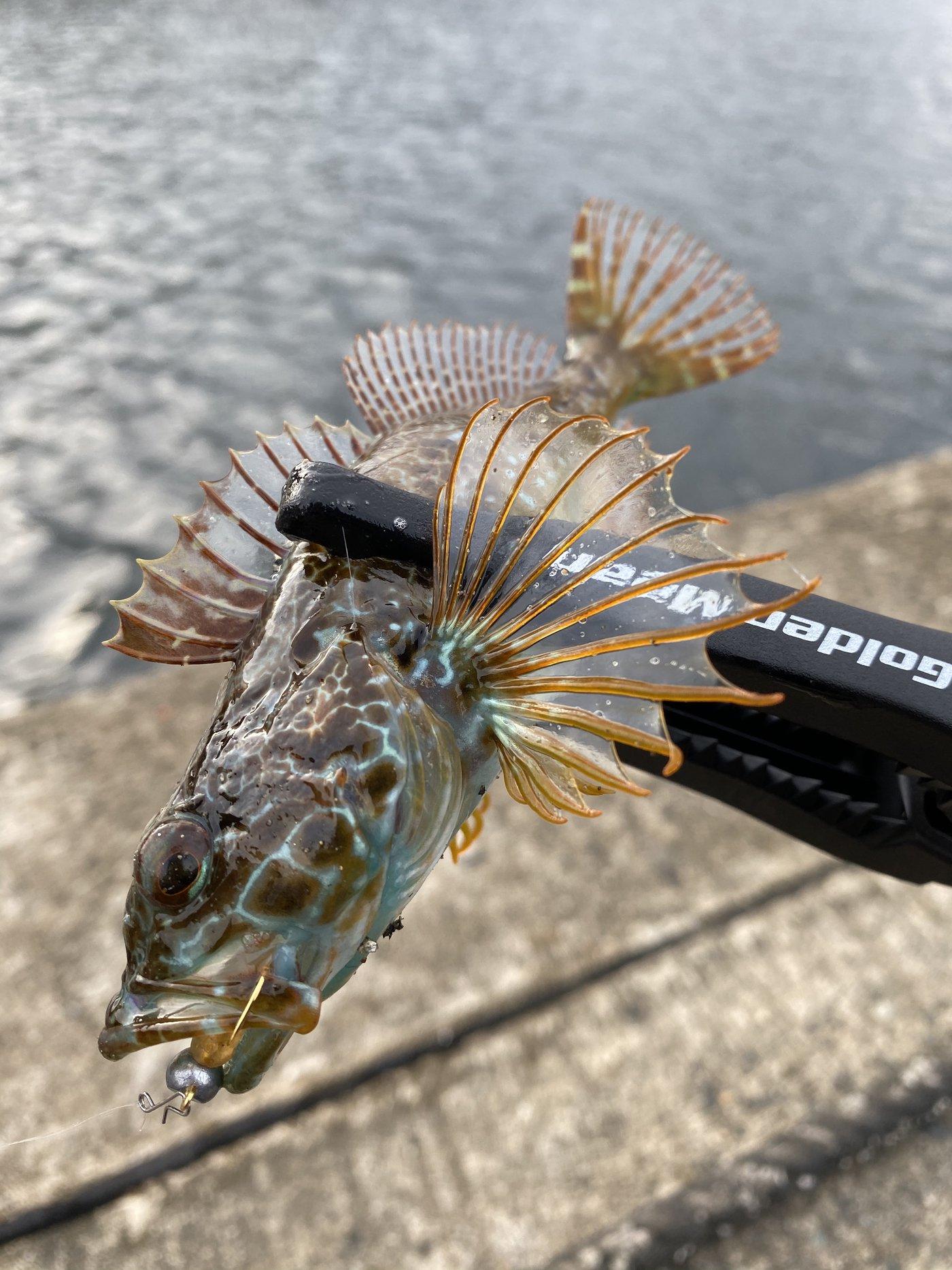 コバちゃんさんの投稿画像,写っている魚はアナハゼ