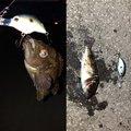 ごっこさんの北海道室蘭市での釣果写真