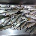 ガシさんの香川県観音寺市での釣果写真