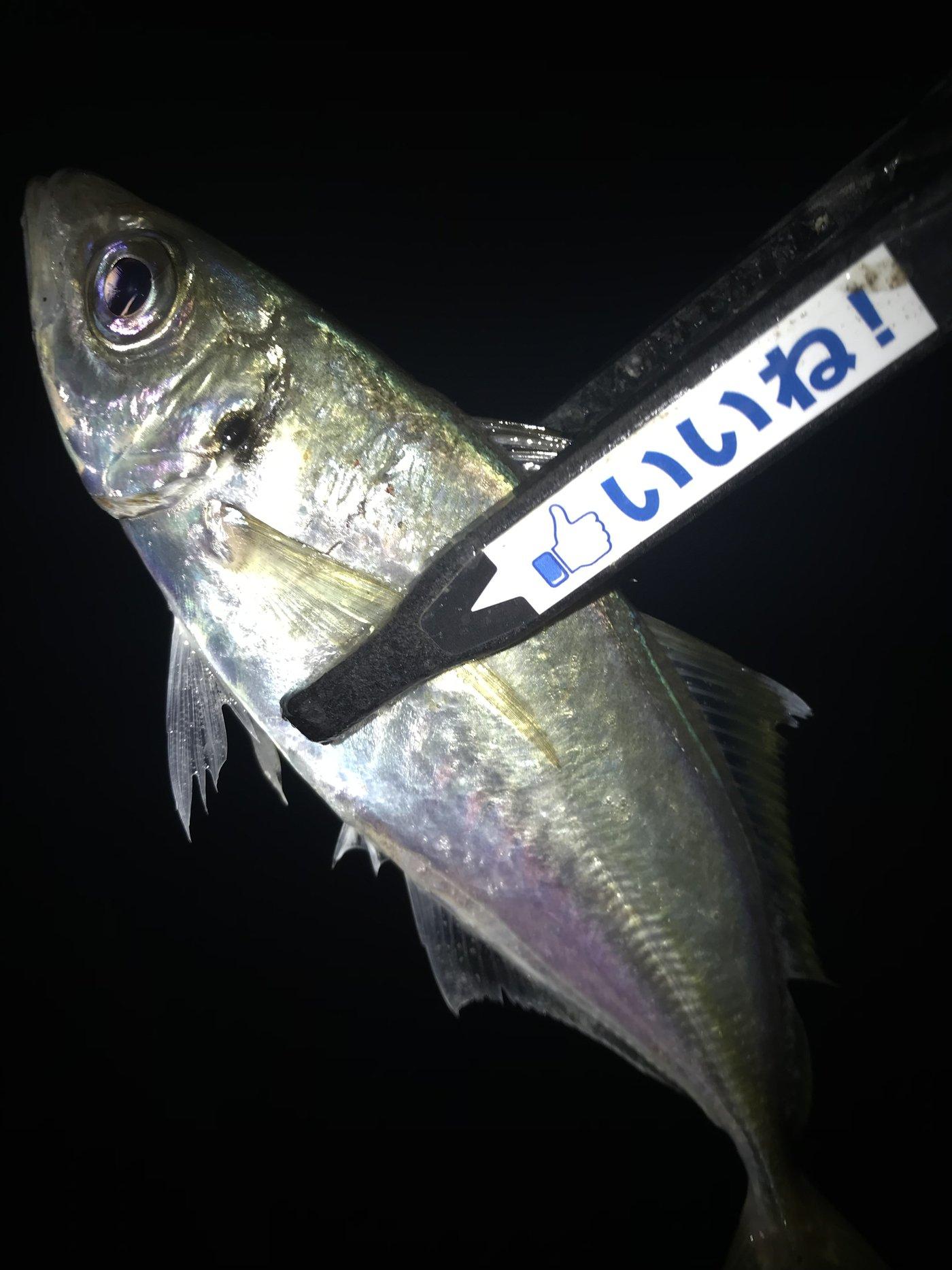 伊王島在住のアジンガーさんの投稿画像,写っている魚はアジ