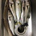 すえちゃんまんさんの宮城県でのアナゴの釣果写真