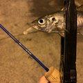とくさくさんの鹿児島県出水郡での釣果写真