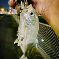 yoshiさんのロウニンアジの釣果写真