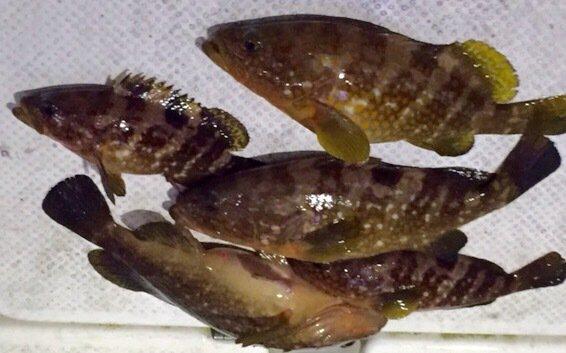 Freemanyoshikiさんの投稿画像,写っている魚はキジハタ