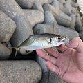 くーちゃんさんの大阪府貝塚市での釣果写真
