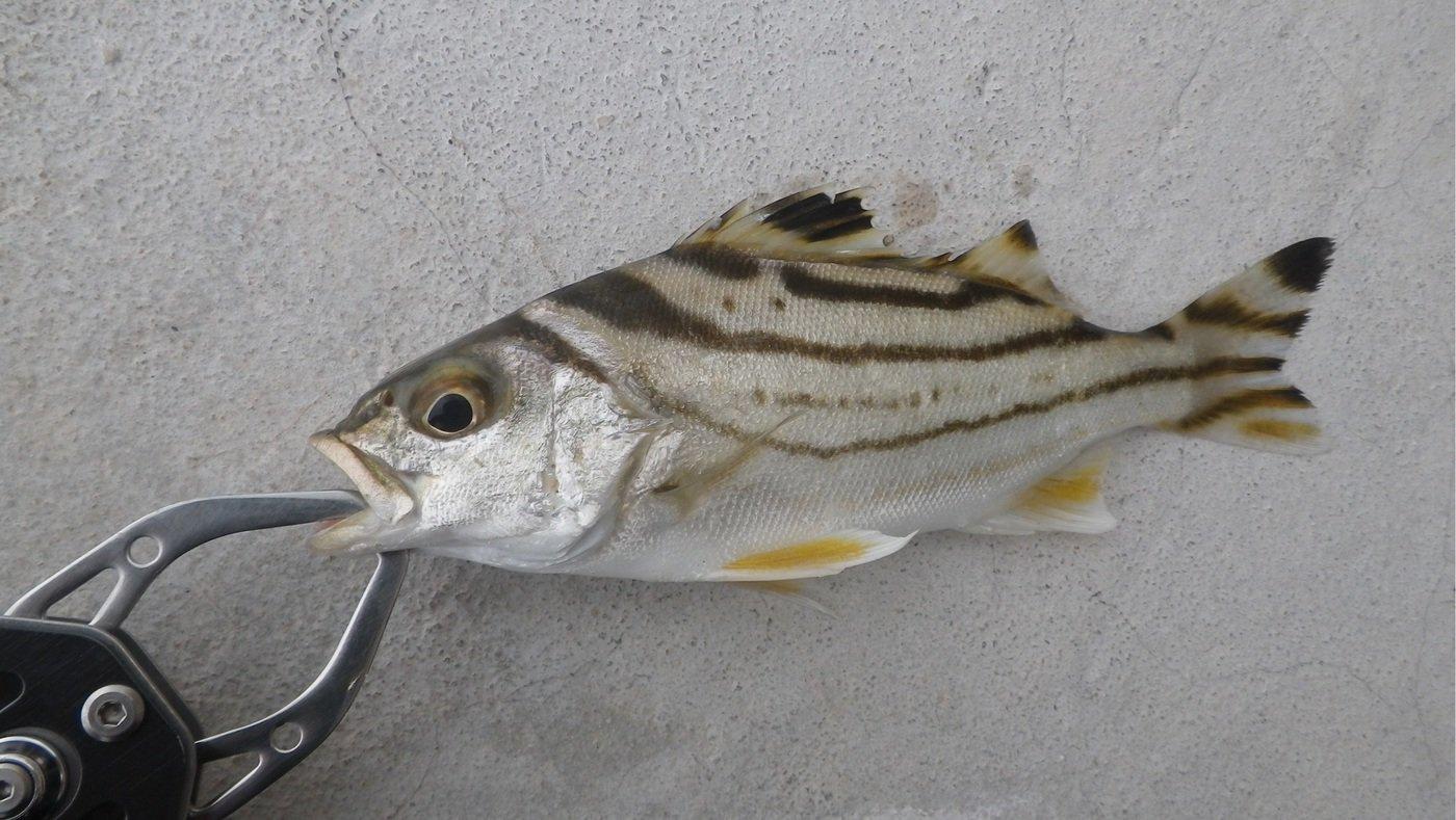 スズキリさんの投稿画像,写っている魚はコトヒキ