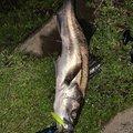 ダボラさんの新潟県柏崎市での釣果写真