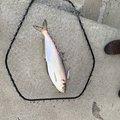 サカイ氏さんの香川県仲多度郡での釣果写真