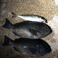 うえさんの富山県魚津市での釣果写真