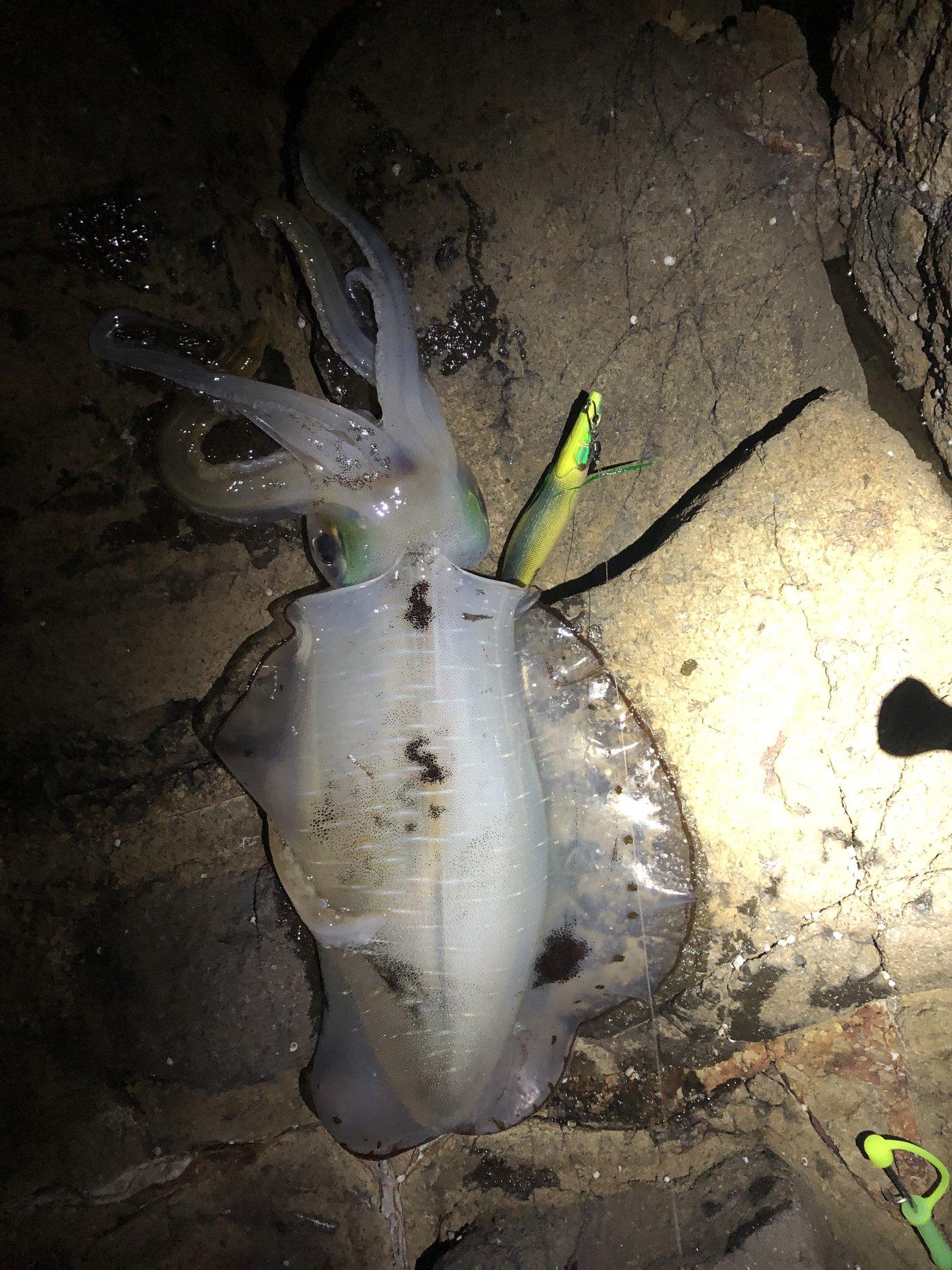 ぽちさんの投稿画像,写っている魚はアオリイカ