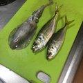 IWAKUNI  MARCOさんの山口県熊毛郡での釣果写真