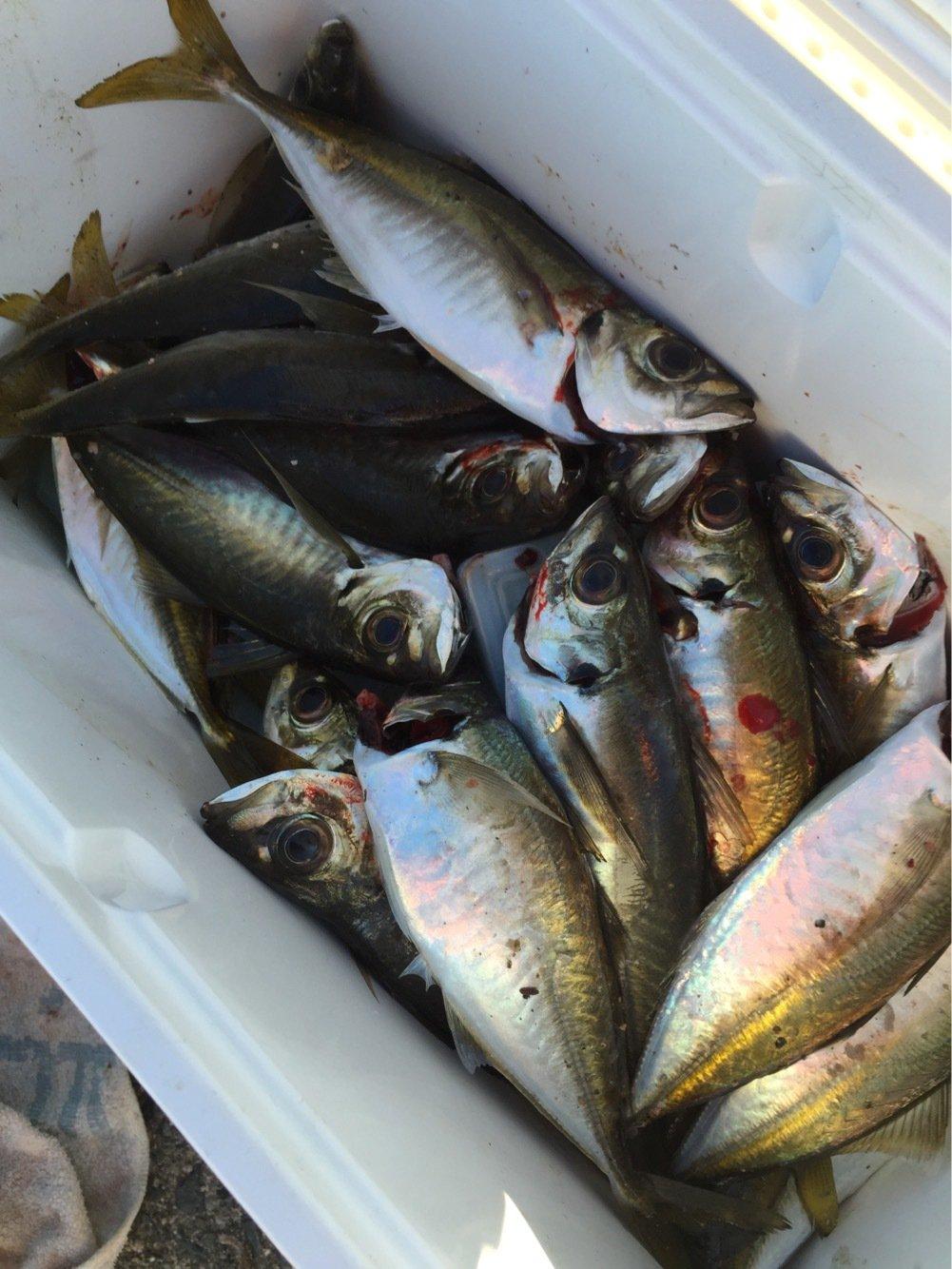 ヤマさんの投稿画像,写っている魚はアジ