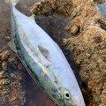 PESIさんの新潟県佐渡市での釣果写真