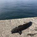 (´༎ຶོρ༎ຶོ`)さんの愛媛県松山市での釣果写真