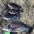 まこせさんの島根県での釣果写真