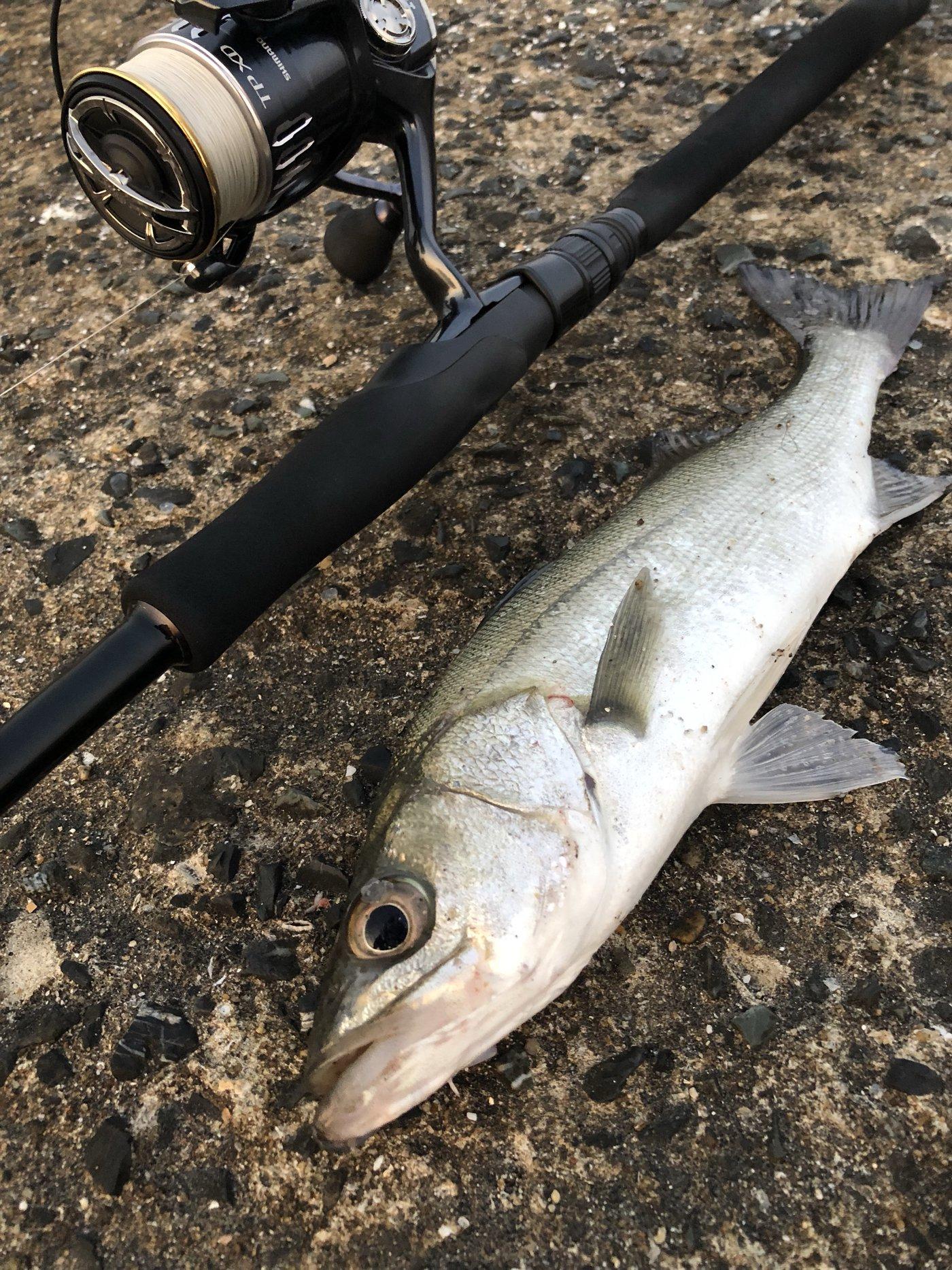 すうさんの投稿画像,写っている魚はスズキ