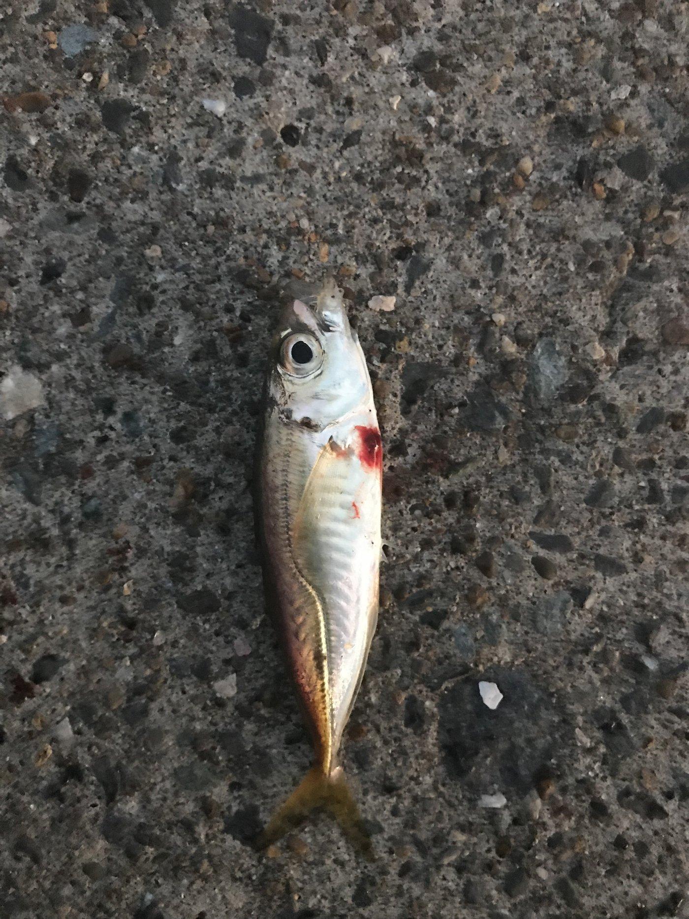 GWRAAAさんの投稿画像,写っている魚はアジ